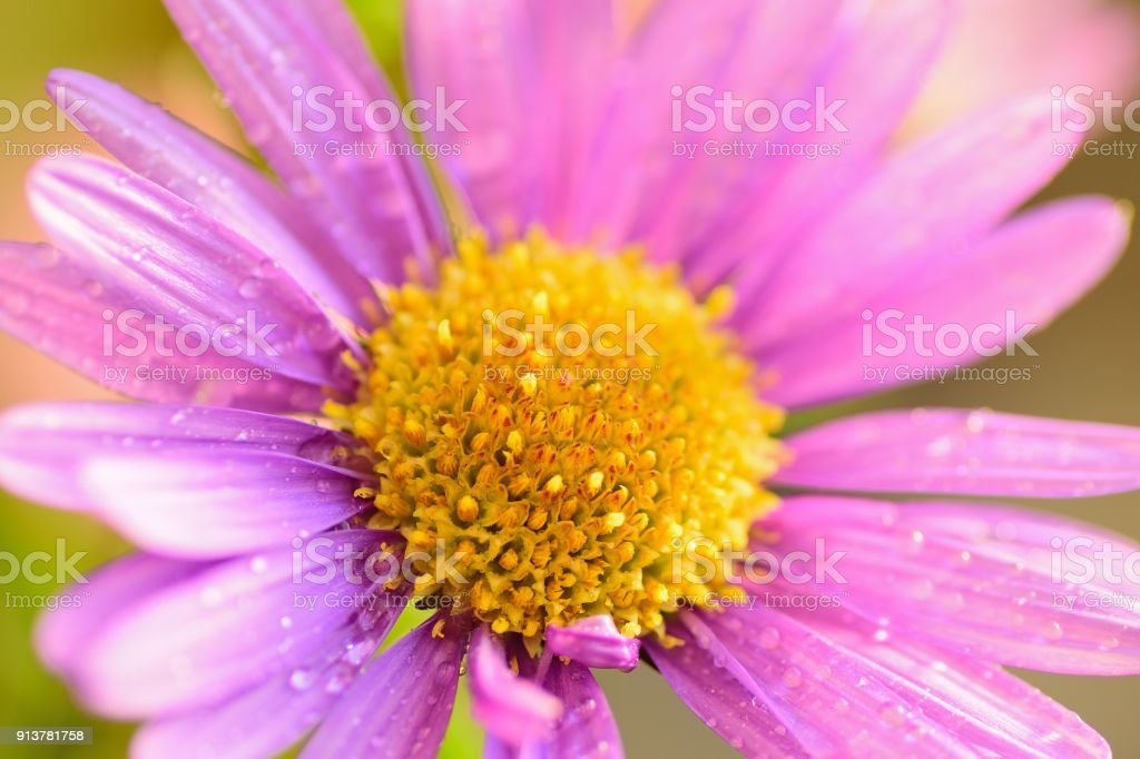 Macro texture of vibrant pink colored Daisy flower with water droplets stock photo