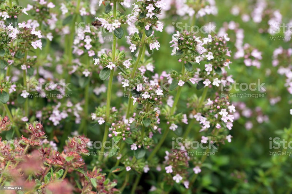 Macro thyme on the stone wall. stock photo