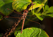 This macro image capture shows a top view of a beautiful brown dragonfly sitting on a branch, surrounded by green leafs.