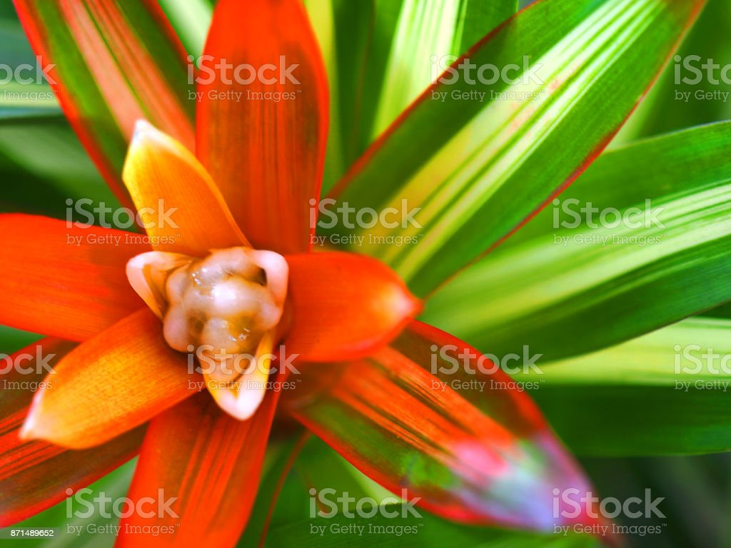 Top de macro Ver os vermelhos bromélia Neo. (Neoregelia) Doce de laranja tiro jovem branco - foto de acervo