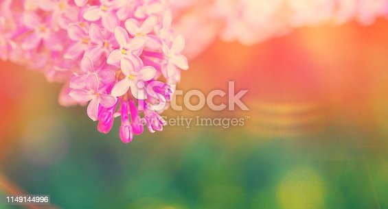 901386728 istock photo Macro view blossoming Syringa lilac bush. Springtime landscape with bunch of violet flowers. lilacs blooming plants background. soft focus photo. 1149144996