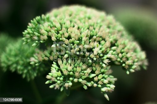 Macro view from above of blossoming white-pink inflorescences of stonecrop Sedum spectabils growing in spring on a flowerbed. Inflorescence of unopened buds on a green stem