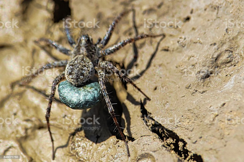 Macro view of a blue egg sac of a Wolf Spider stock photo
