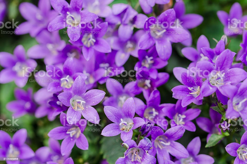 Macro view of a little Campanula flower stock photo