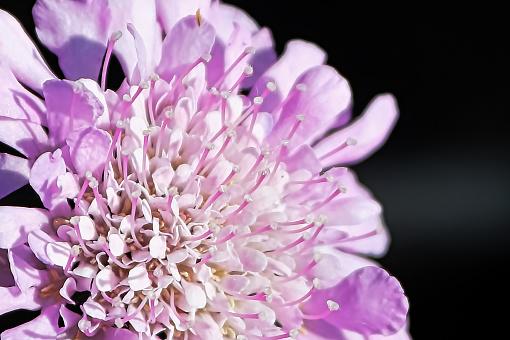 Macro view of a pin cushion flower head
