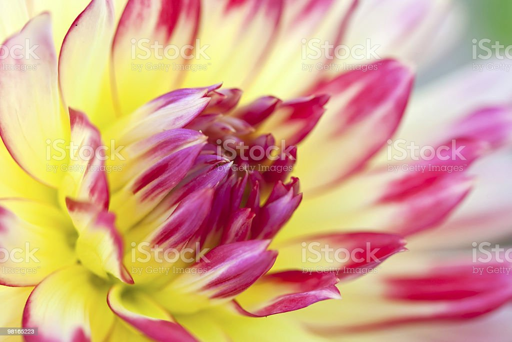 Macro view of a yellow flower dahlia royalty-free stock photo