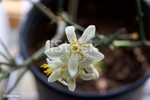 This image shows a macro view of emerging white and yellow flowers on an indoor Meyer lemon tree.
