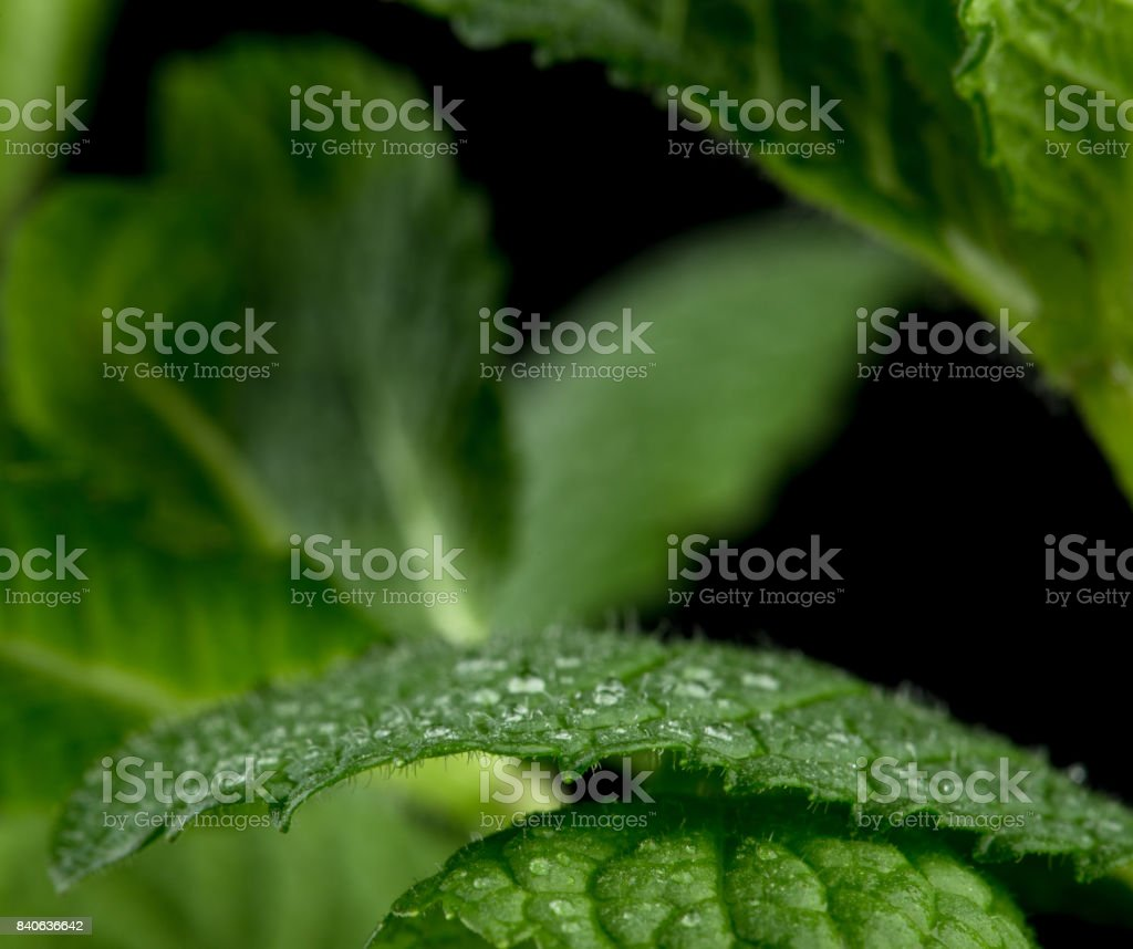 Macro view of fresh mint leaves stock photo