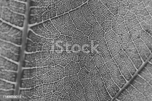 637513166istockphoto Macro view of leaf texture in black and white. Close up of leaf veins. Leaf texture and background for design. 1183639013