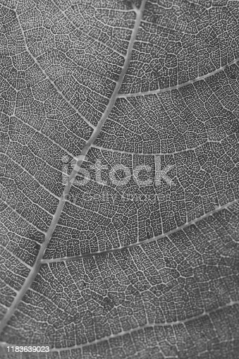 637513166istockphoto Macro view of leaf texture in black and white. Close up of leaf veins. Leaf texture and background for design. 1183639023