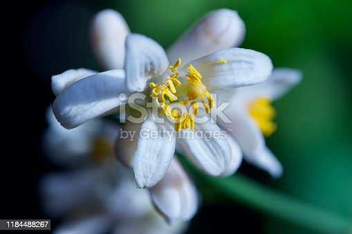 This image shows a close-up defocused macro view of new white and yellow blossoms on a potted indoor Meyer lemon tree.