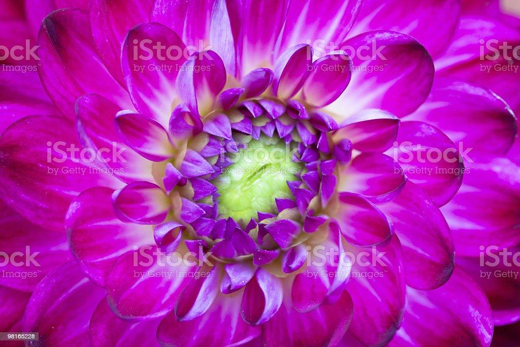 Macro view of pink flower dahlia royalty-free stock photo