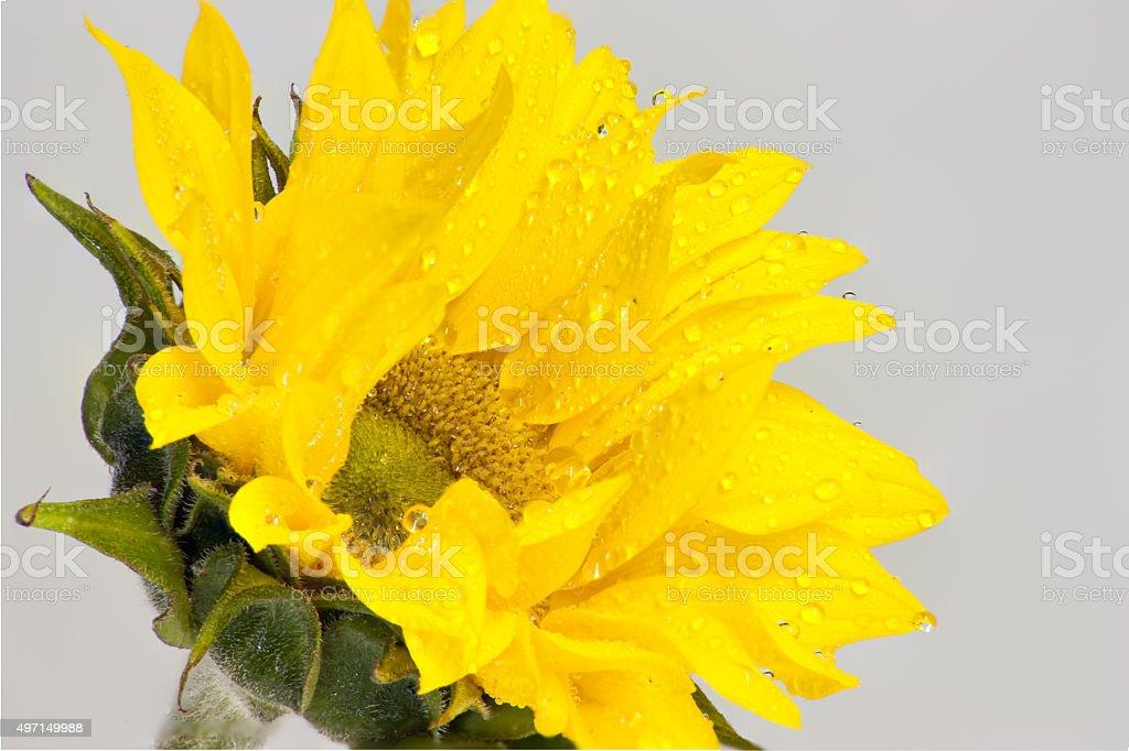 Macro view of the sunflower stock photo