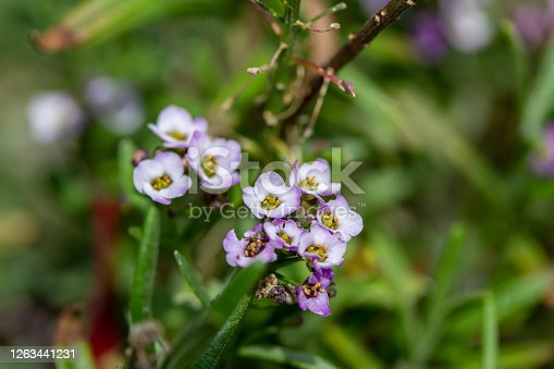 This image shows an extreme close up view of tiny pink and purple sweet alyssum (lobularia maritima) flowers blooming in an outdoor botanical garden.