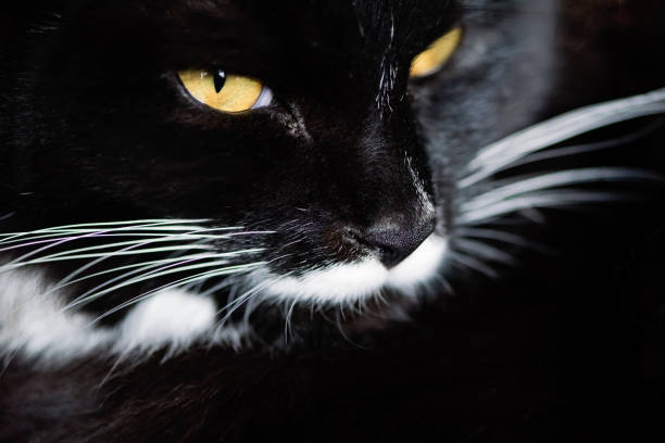 Macro view on tuxedo cat's face. stock photo