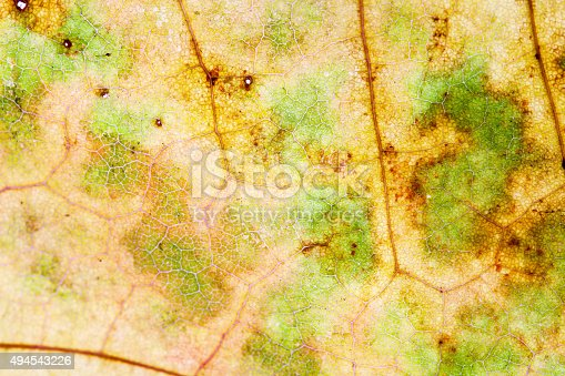 istock Macro view texture and pattern maple leaf 494543226