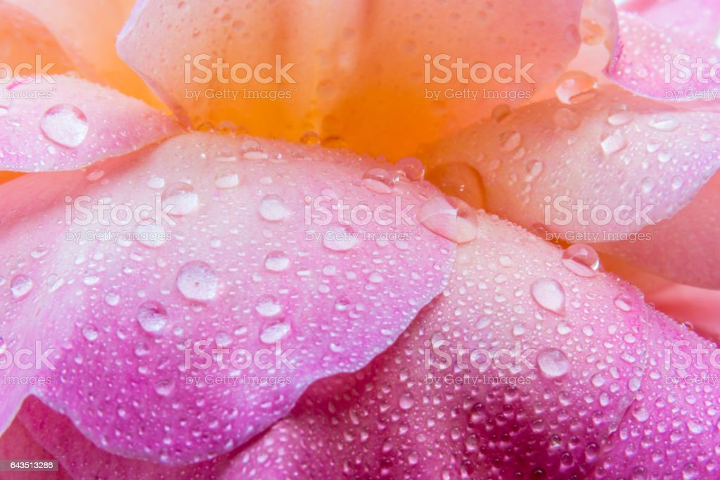 Macro water drops on the petals of a rose. stock photo