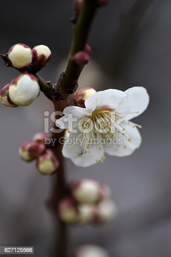 Macro white plum blossom branch stock photo more pictures of macro white plum blossom branch stock photo more pictures of abstract istock mightylinksfo