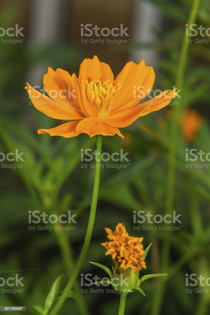 Macro Yellow cosmos flowers stock photo