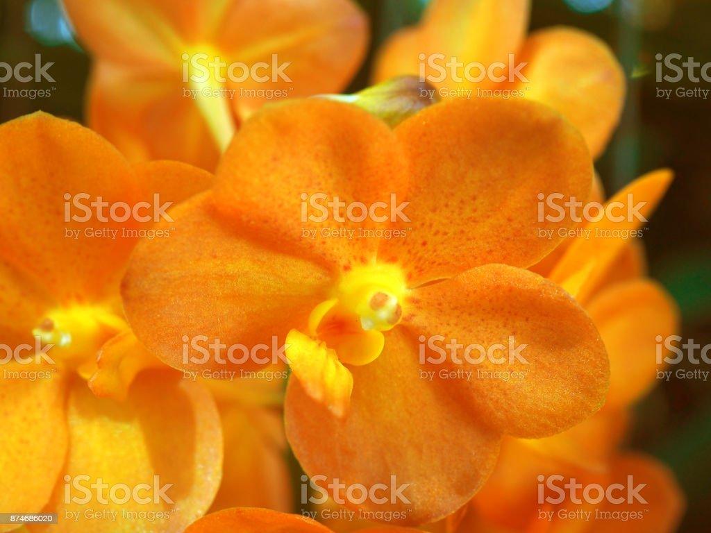 Macro yellow orange spotted petal Vanda orchid flower bunch stock photo