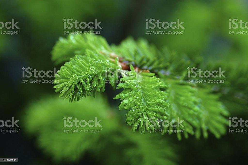 macro young fir-tree royalty-free stock photo