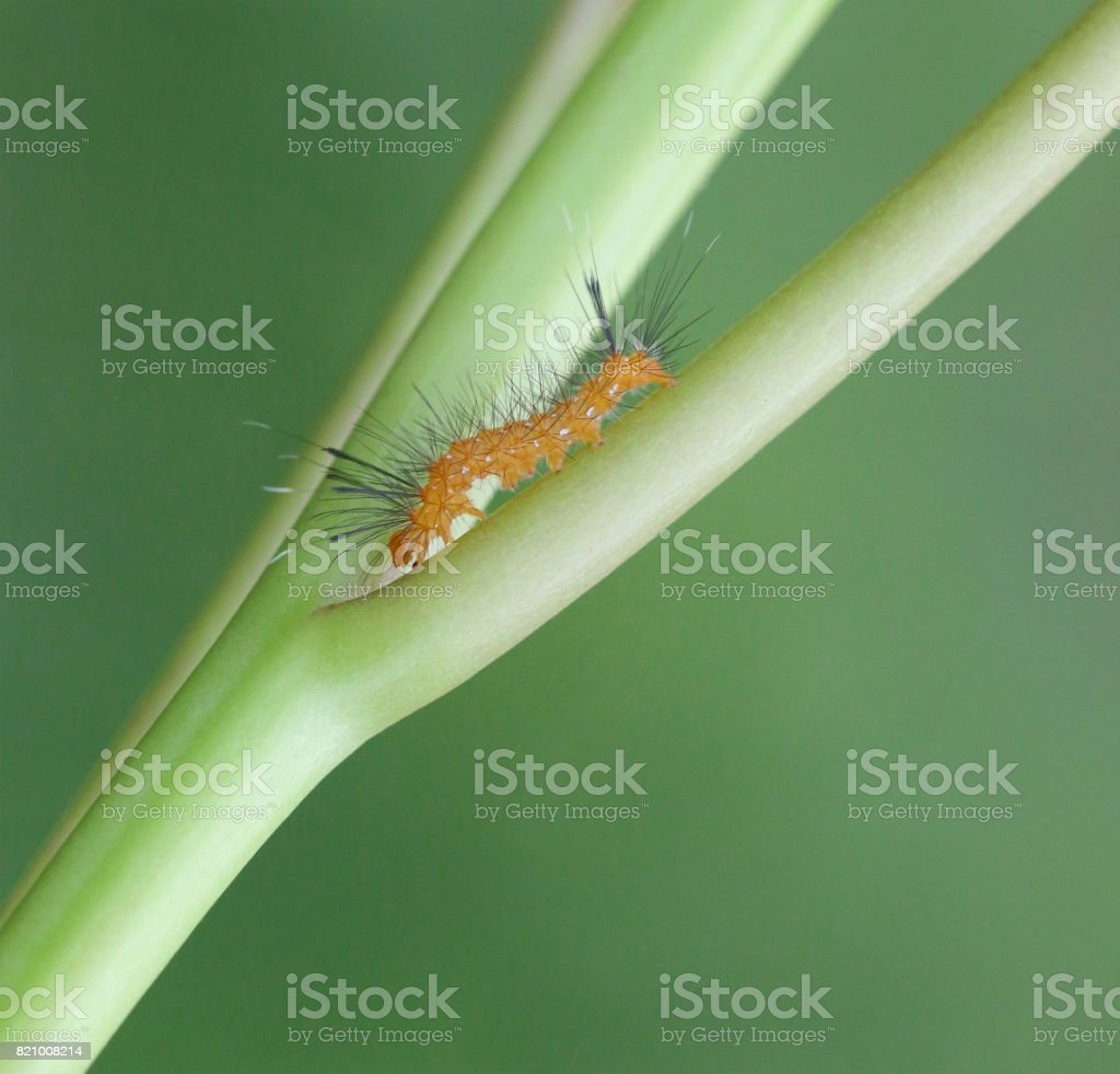 Macro/close-up of a caterpillar on the stem of a plant stock photo
