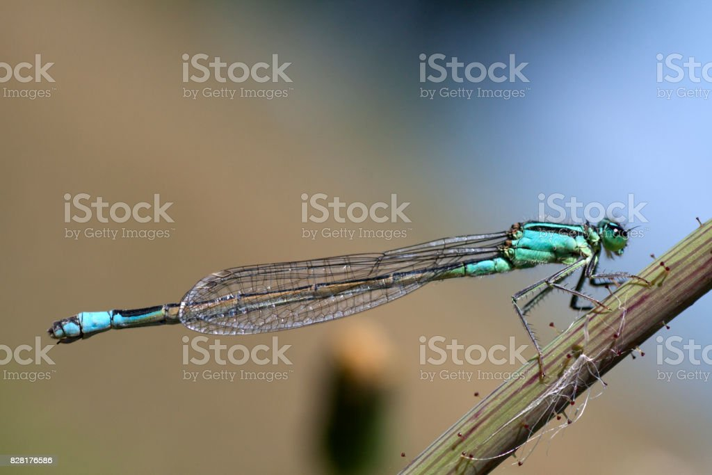 Macrofoto of a green libel insect stock photo
