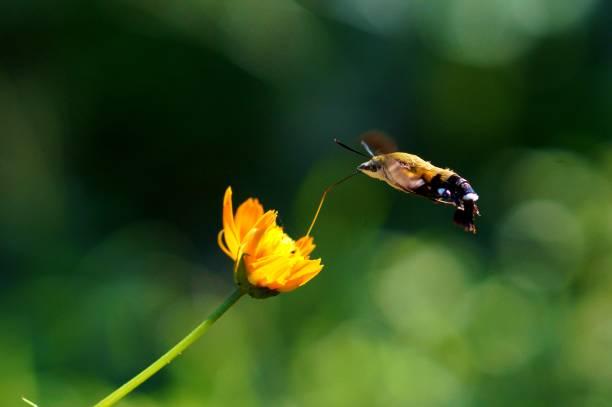 Macroglossum pyrrhosticta – Foto