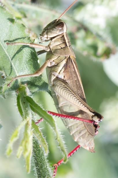 macrofotografie-sprinkhaan insect - locust swarm stockfoto's en -beelden