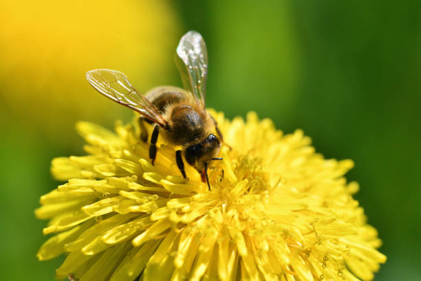Macrophotography of bee polinating yellow dandelion in blossom stock photo