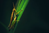 Outdoor macro-photography of grasshopper sitting on grass blade in nature. No people,  full length and selective focus with copy space.