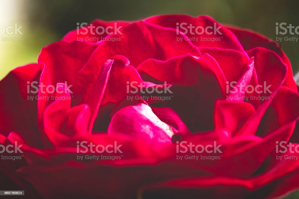 Macrophotography of rose flower in nature. - Royalty-free Abstrato Foto de stock
