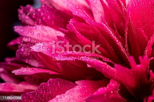 Macrophotography of Wet Pink Peony Flower on Dark Background