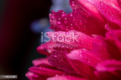 Macrophotography of Wet Pink Peony Flower on Dark Background