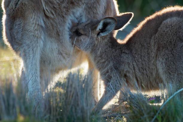macropus giganteus - eastern grey kangaroo en tasmanie en australie - mammifère photos et images de collection