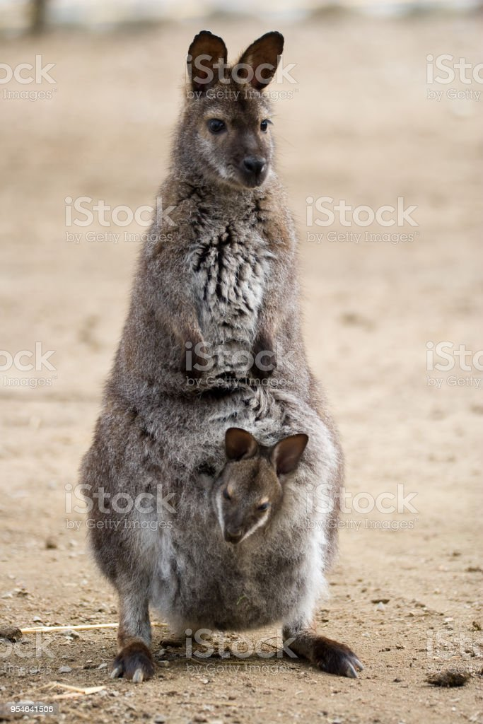 Macropus rufogriseus - Wallaby dal collo rosso - foto stock
