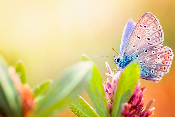 Maculinea arion butterfly picture id184401242?b=1&k=6&m=184401242&s=612x612&w=0&h=oetcxqckolqsgpbsfqnssqf12pylnflkzs lw7qwsxy=
