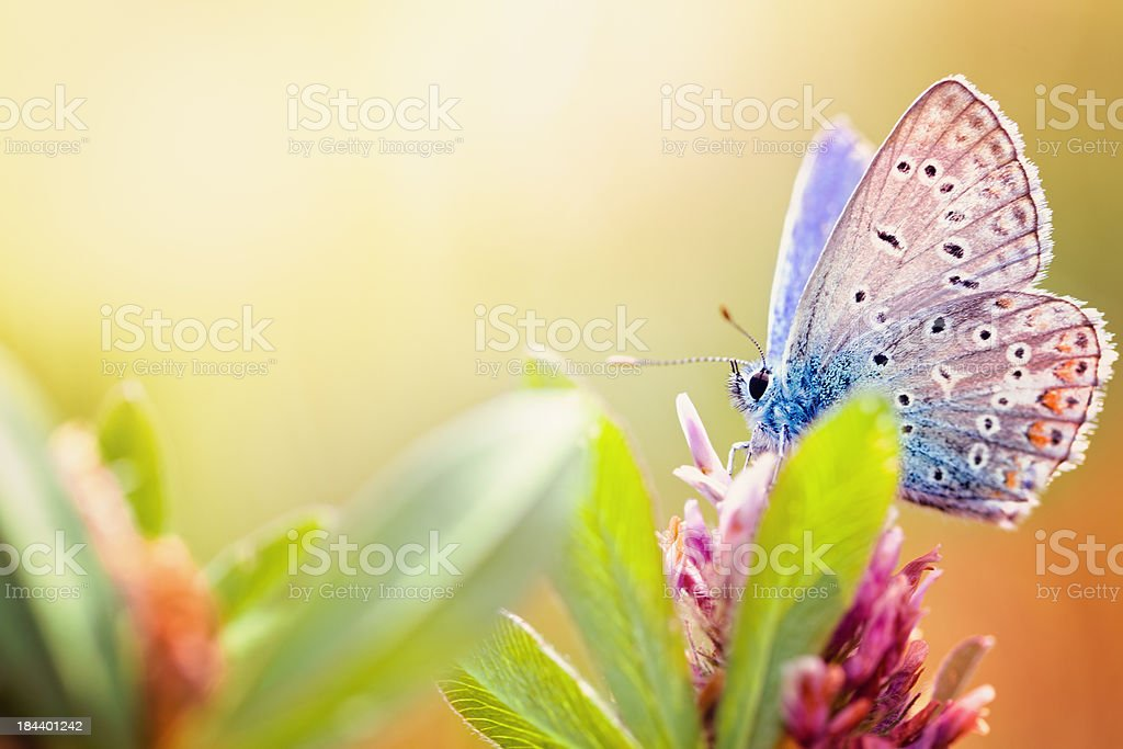 Maculinea arion butterfly stock photo