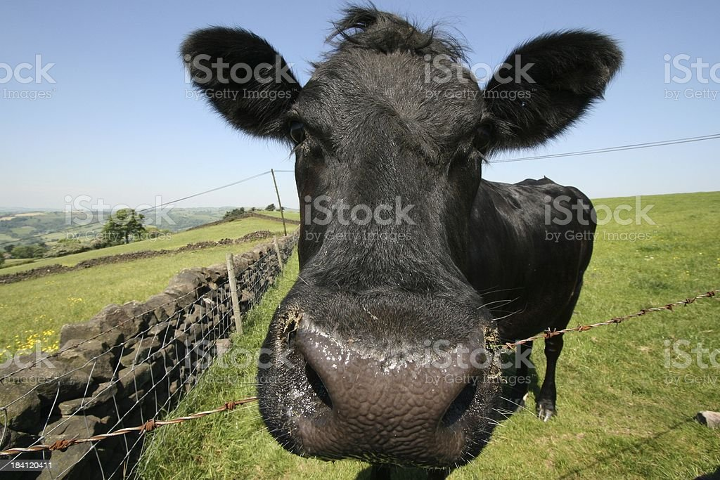 Mad Cow royalty-free stock photo
