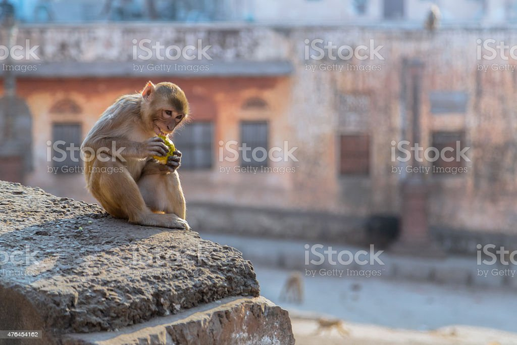 Mad Monkey at Jaipur Sitting in the Roof stock photo