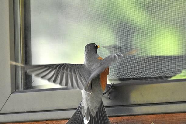 Mad Robin stock photo