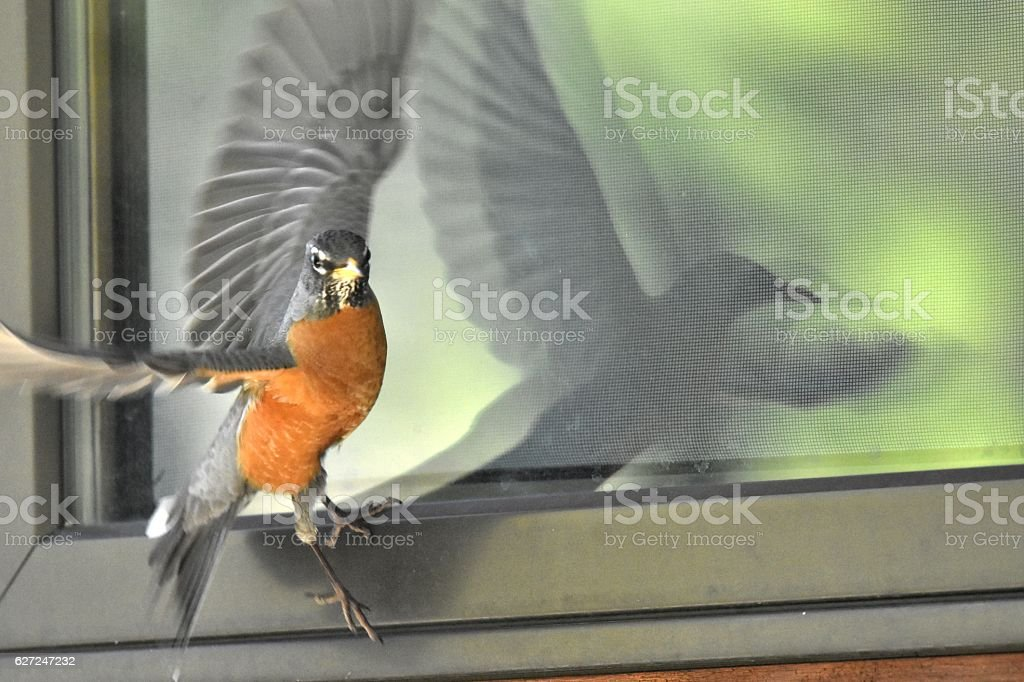 Mad Robin stock photo