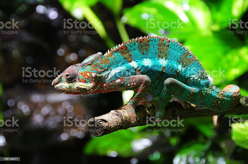 Madagascan Panther Chameleon. stock photo