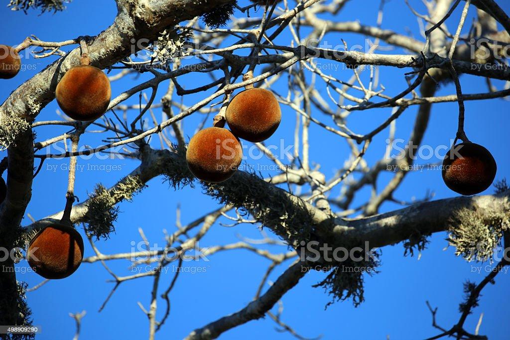 Madagascar: Baobab Tree Fruit near Ifaty stock photo