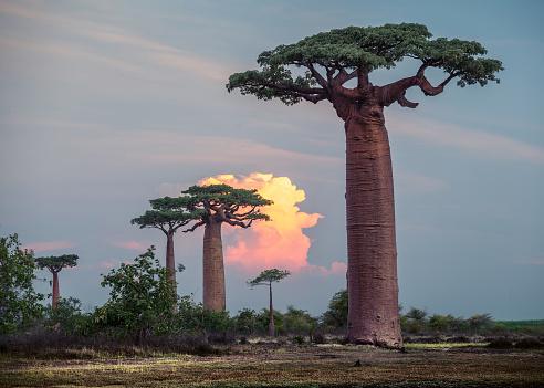 Madagascar. Baobab trees