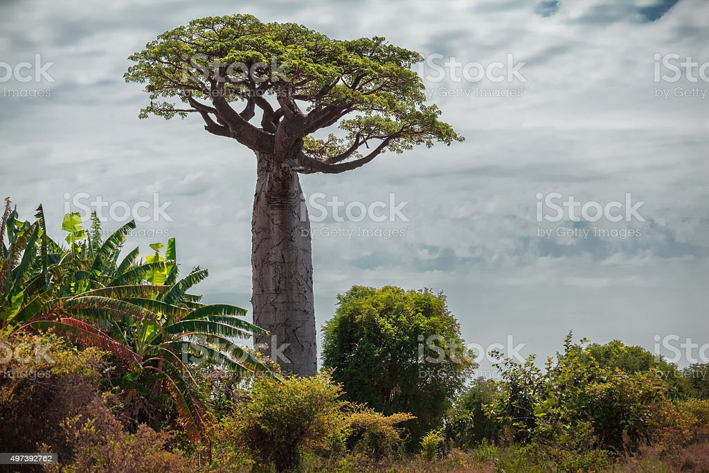 Madagascar. Baobab trees bildbanksfoto