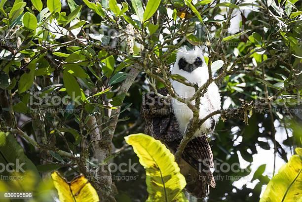 Madagascar bird longeared owl picture id636695896?b=1&k=6&m=636695896&s=612x612&h=c3zujva5uv9lvpvbzp5rcyynguijcrtbqznxrdmqtn0=