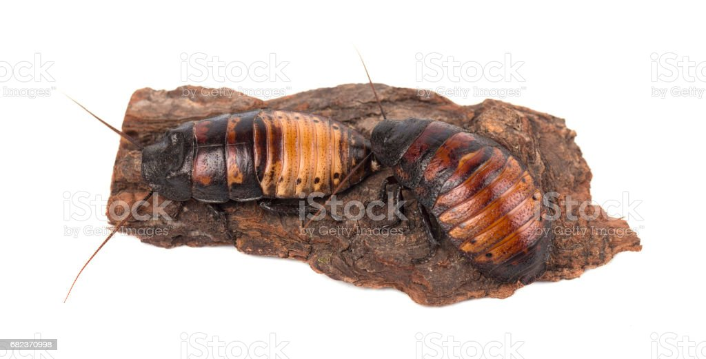 Madagascar cockroaches on tree bark isolated on white background royalty free stockfoto