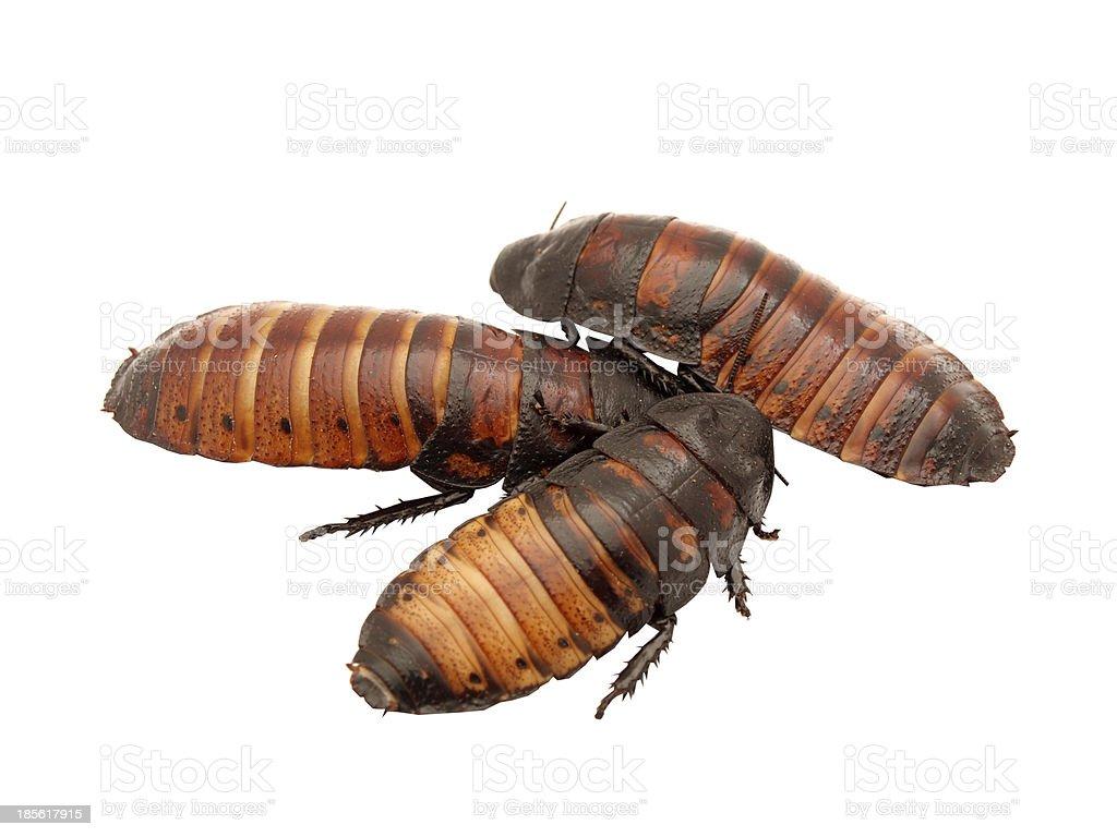 Madagascar cockroaches stock photo