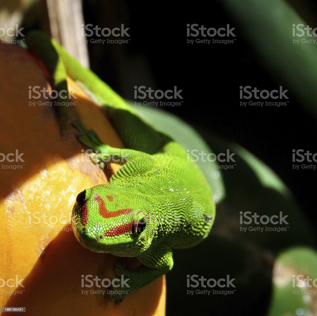 Madagascar day gecko, Green Lizard royalty-free stock photo